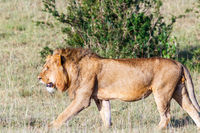 Lion male in Masai Mara, Africa