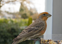 Colorful Orange Male House Finch Perched at Bird Feeder