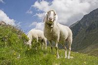 Schafe - Sommer in den Bergen