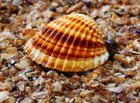 Seashell anadara on wet sand