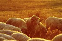 sheep herd in sunset orange light