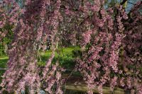 Detail of a Higan cherry tree in full blossom