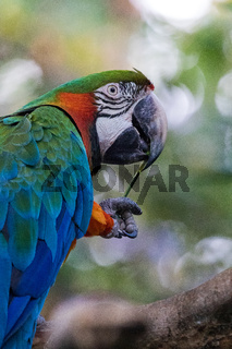 Wonderful macaw in a park of Guatemala