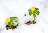 Yellow winter aconite flowers in the snow