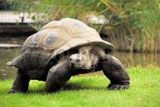 Seychellen-Riesenschildkröte (Seychelles giant tortoise)