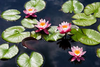 Pink Waterlily Blossoms