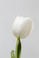 Weiße Tulpe vor weißem Hintergrund