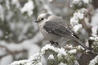 im tief verschneiten Wald... Meisenhäher *Perisoreus canadensis*