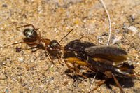 ant dragging beetle