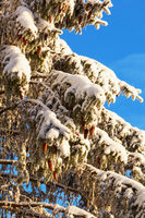 Spruce tree branches with snow and cones