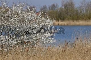 Blühender Baum am Biotop