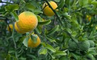 Citrus Trifoliata Fruit