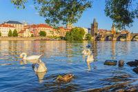Swan and Prague city skyline at Charles Bridge, Prague, Czech Republic