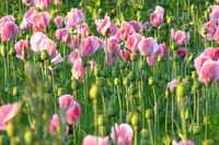 Rosa Mohn   pink poppies