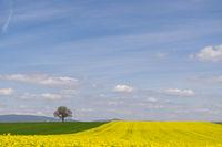 Walnussbaum (juglans regia) und Rapsfeld (Brassica napus)