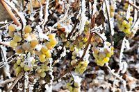 Schnee und Frost an den Weintrauben im Weinberg.jpg
