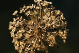Nahaufnahme von verblühtem Zierlauch oder Sternkugel-Lauch / Allium cristophii