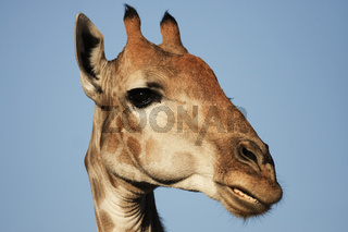 Giraffe - portrait - Kalahari-South Africa