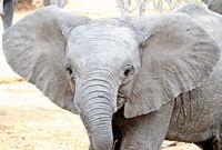 kleiner Elefant mit grossen Ohren