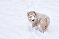 One fluffy white cream dog in snowdrift