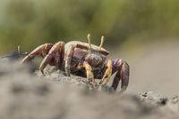 Weibliche Europaeische Winkerkrabbe, Uca tangeri, Female European Fiddler Crab