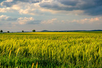 Green wheat field in warm sunshine under dramatic sky, fresh vibrant colors