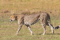 Cheetah walking on the grassland
