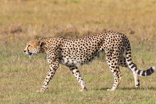 Cheetah walking on the grassland