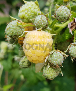 Himbeere, Gelbe, Elida, Golden Evereste, Rubus, idaeus