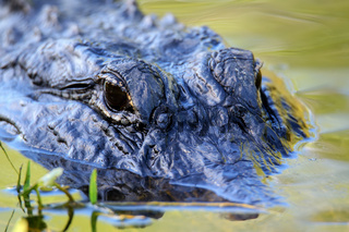 Portrait of Alligator floating in water