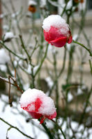 Verschneite Rosen