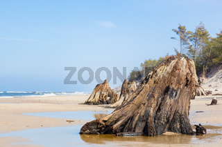 3000 years old tree trunks on the beach after storm. Slowinski National Park, Baltic sea, Poland