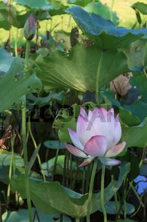 Pink lotus in pond In Xiamen Garden Expo