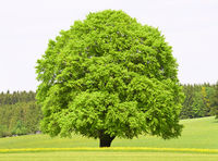 single big beech tree in meadow at spring