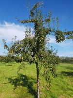 Koestliche von Charneux, Birnen, Alte Birnensorte, Pyrus communis