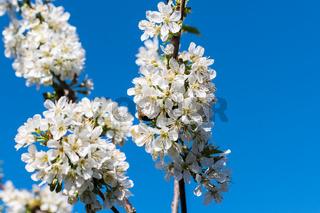 Kirschblüten-8.jpg