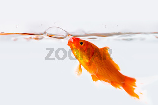 goldfish with air bubble in glass fish tank
