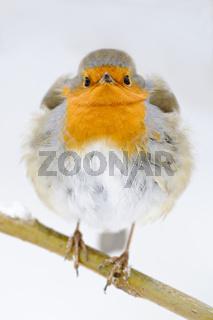 Rotkehlchen-(Erithacus-rubecula)16.jpg