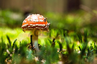 fly agaric or fly amanita muschroom
