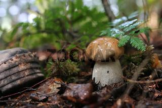 boletus mushroom drop of water
