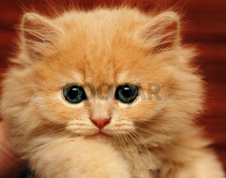Muzzle small fluffy kitten