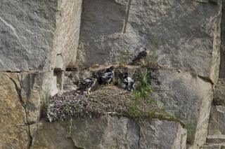 Wanderfalke - Horst mit Jungen, Falco peregrinus, peregrine falcon - nest with young birds
