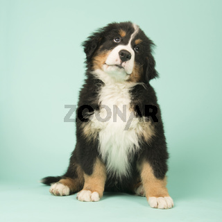 Bernese Mountain Dog puppy on green background