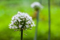 onion flower closeup