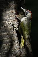 im Spiel von Licht und Schatten... Grünspecht *Picus viridis*