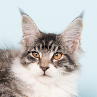Maine coon kitten on blue
