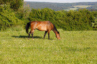brown horse is grazing in a spring meadow