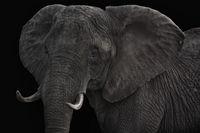 Grosse Elefantenkuh