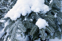 Snow-covered branches of fir tree
