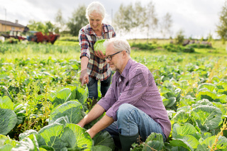 senior couple picking cabbage on farm